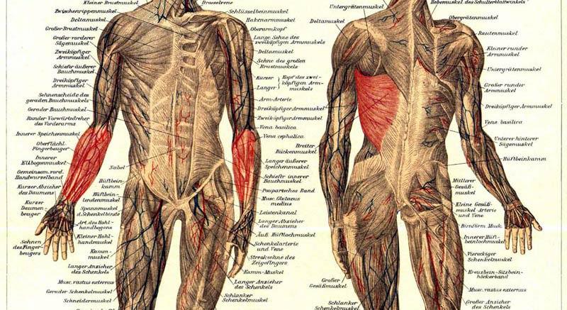 The primary--Muskulatur.jpg