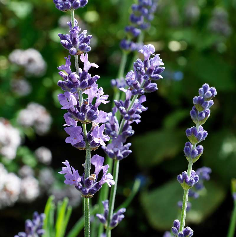 Lavender gives the hand cream a pleasant scent. (Picture Christer Johansson CC BY-SA 3.0)