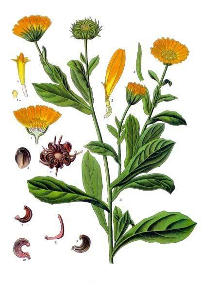 Ringelblume eignet sich hervorragend als Zutat für Handcremes. (Bild Franz Eugen Köhler, Köhler's Medizinal-Pflanzen)